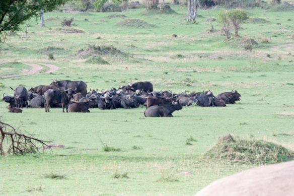 A herd of Cape Buffalo - thought by many to be the most dangerous animal in Africa.
