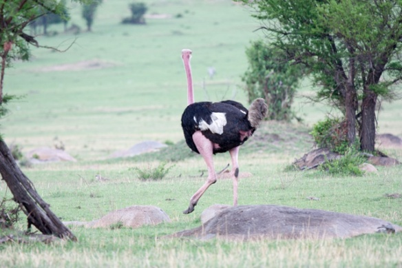 This particular breed of male Ostrich turns pink during mating season.