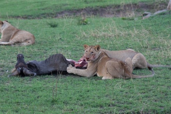 Female lions munching on a Wildebeest.