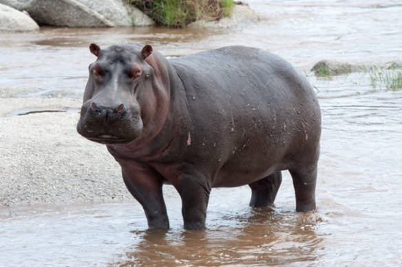 We were on the ground at the edge of the Mara river, and this Hippo was getting agitated at us.  We stepped back toward the jeep, and he (or she) calmed down.