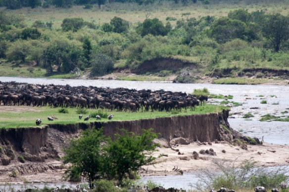 A large herd of Wildebeests bunching up to cross the Mara River.