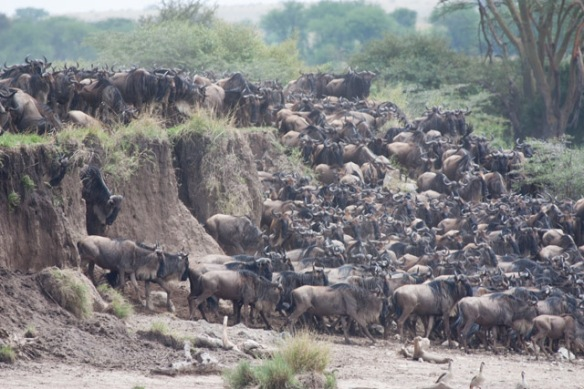 Finally, one of the Wildebeests jumped in and all the rest followed.