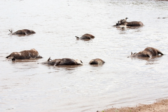 Many of them did not make it - broken legs from jumping/thrashing down the river bank and into the water.