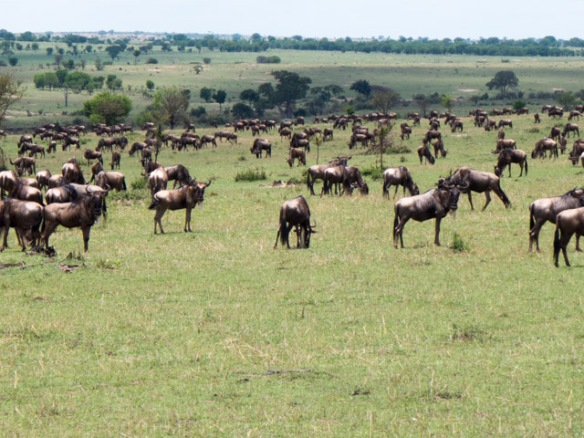 Wildebeests grazing on the plains after crossing the Mara River.