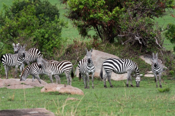 Lots and lots of Zebras - all of them very healthy looking.