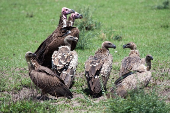 The Lappet-faced Vulture is the largest in Africa.