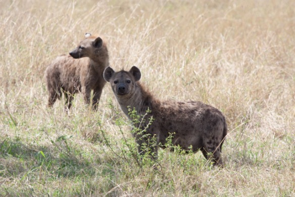 Hyenas are cuter that you might expect.