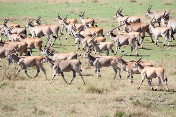Giant Eland are among the largest of all African antelope.  Beautiful animals.