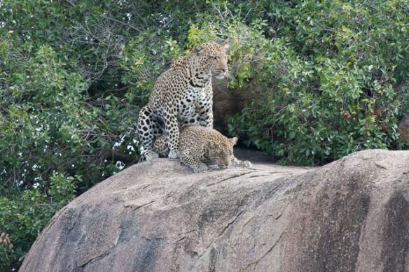 Leopards mating - somewhat rare to catch them in the act.