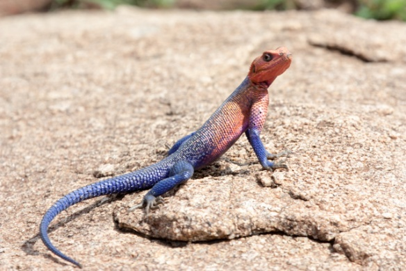 The Northern Serengeti is awash with brightly colored lizards.