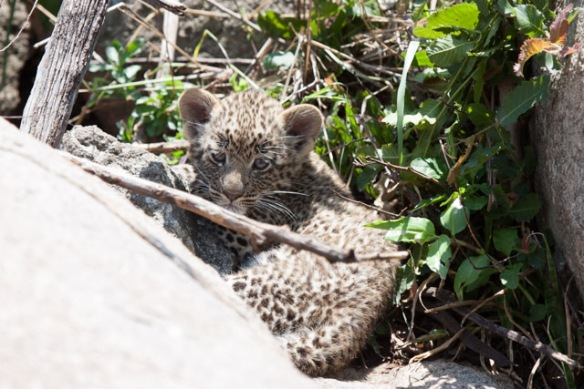 The Leopard cubs looked so cuddly!