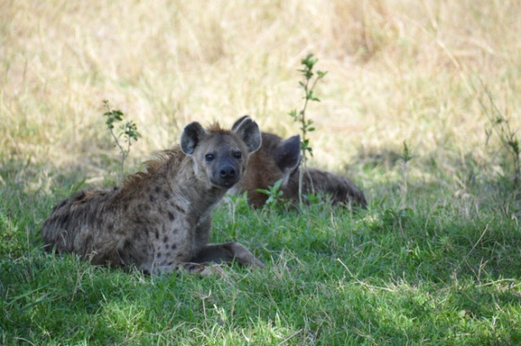 Hyenas relaxing in the shade.