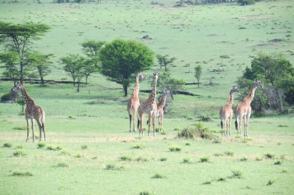 Loved seeing the larger groups of Giraffes.