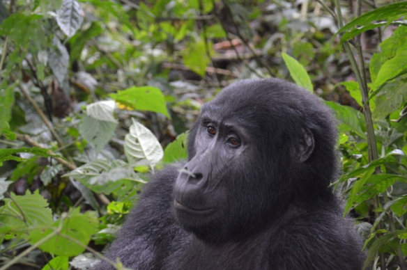 Up close to the Silverback.