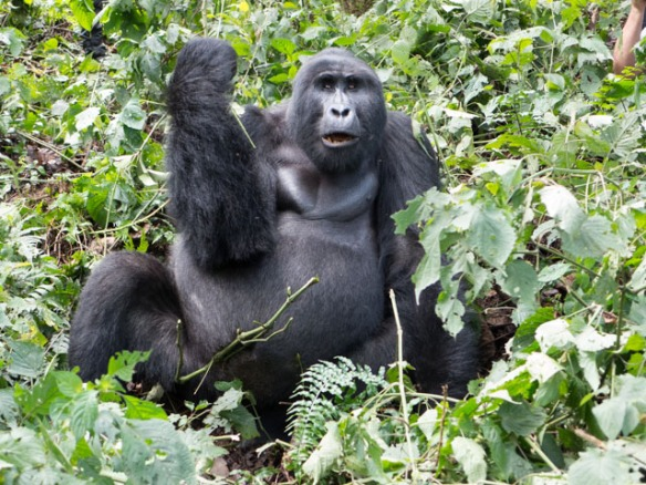 Mark must have said something that this Silverback didn't like.