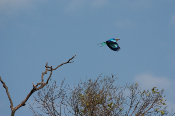 Lilac breasted roller in flight...magnificent in the sunlight
