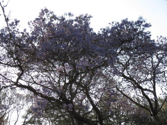 The Jacaranda trees were in bloom